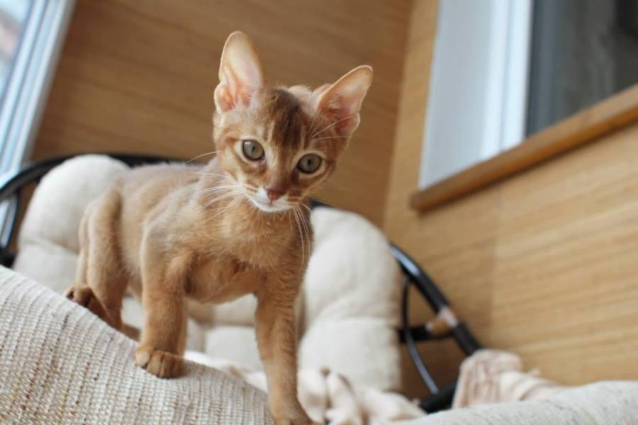 Симба-котенок