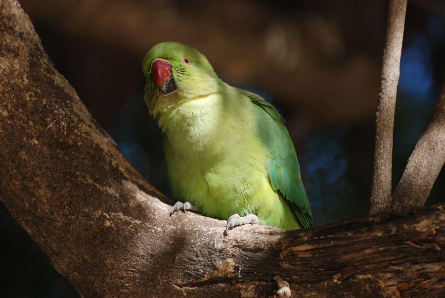 Parrot_India_1